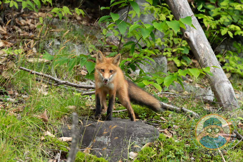 As we were driving away from my families lakeside cottage we spotted 3 foxes digging a hole on the side of the road. This one even stopped and sat for a photograph. Even the animals seem friendlier in Maine.